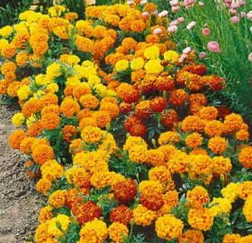Peiulill (tageetes) SPARKLY MIX