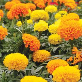 Tagetes CRACKERJACK MIXED
