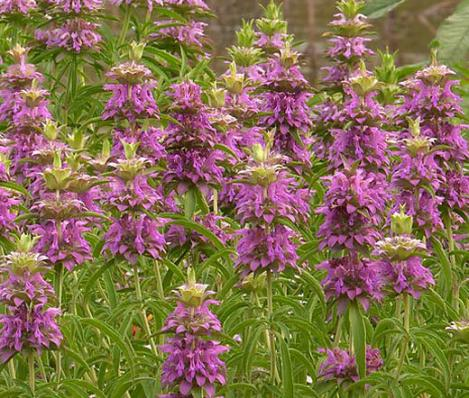 Pakis - Monarda LEMON BEEBALM, LEMON MINT - seemned