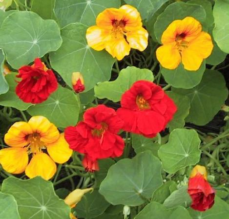 Pakis - Mungalill, Nasturtium JEWEL MIX - seemned