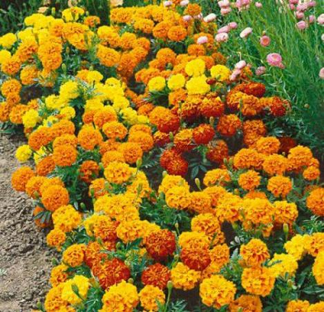 Pakis - Peiulill (tageetes) SPARKLY MIX - seemned